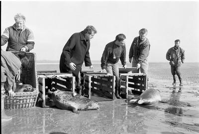 Oosterschelde, Roggenplaat. Vrijlating van vijf zeehonden in de Oosterschelde, voorzien van zenders,  om hun gedrag te kunnen volgen. Het betreft een experiment van de directie Natuur- Milieu en Faunabeheer van het Ministerie van Landbouw en Visserij, de stichting Zeehondencreche Pieterburen en het Rijksinstituut voor Natuurbeheer (RIN).Er was veel media-aandacht voor deze gebeurtenis. Ook commissaris van de koningin in Zeeland Boertien (tweede van links) was erbij. Overigen onbekend.