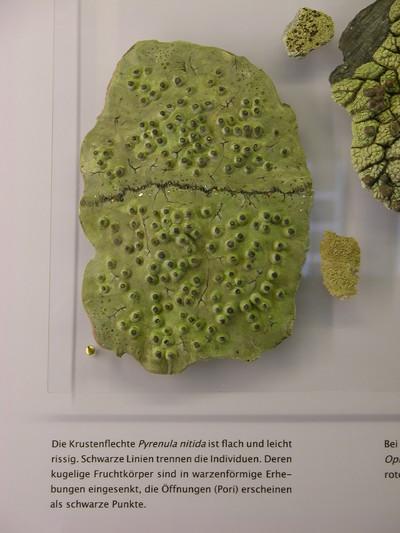 Pyrenula nitida (Modell Wuchsform der Krustenflechte Pyrenula nitida auf  Plexiplatte)