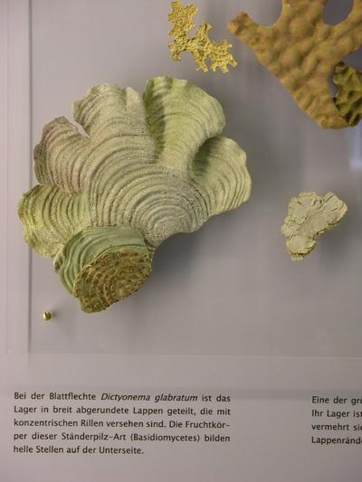 Dictyonema glabratum (Modell Wuchsform der Blattflechte Dictyonema glabratum auf  Plexiplatte)
