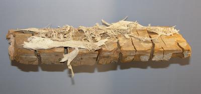 Serpula lacrymans (Myzel des Echten Hausschwamms)