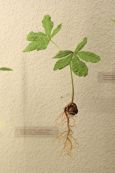 Aesculus hippocastanum (Modell Keimpflanze von Aesculus (1:1))