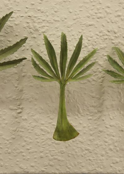 Helleborus foetidus (Modell: Übergangsformen vom Laubblatt zum Blütenhüllblatt bei Helleborus foetibus (1:1))