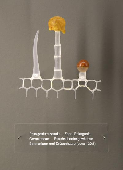 Pelargonium zonale (Modell: Borsten- und Drüsenhaare einer Zonal-Pelargonie (120:1))