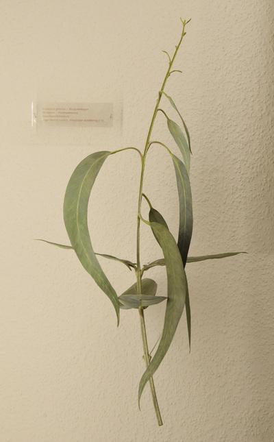 Eucalyptus globulus (Modell: Jugend- und Altersblätter von Eucalyptus globulus (1:1))