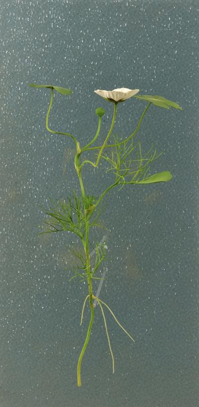 Ranunculus aquatilis (Modell auf Acrylplatte: Wasser- und Luftblätter von Ranunculus aquatilis (3:1))