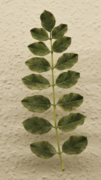 Glycyrrhiza glabra (Modell: Unpaarig gefiedertes Blatt von Glycyrrhiza glabra (1:1))