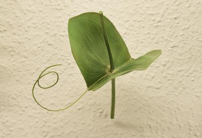 Lathyrus aphaca (Modell: Blattranke und große Nebenblätter einer Ranken-Platterbse (3:1))