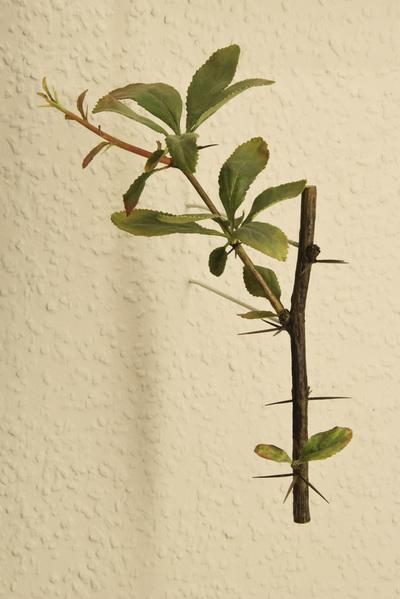 Berberis koreana (Modell: Spross mit Dornblättern der Koreanischen Berberitze (1:1))