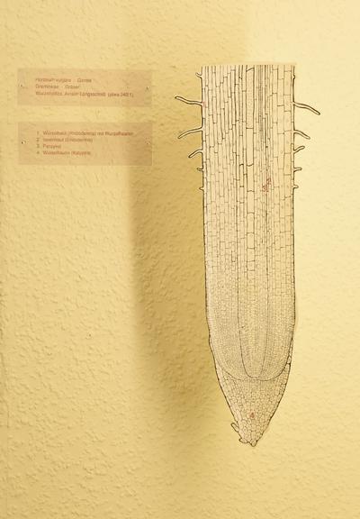 Hordeum vulgare (Modell: Axialer Längsschnitt  Wurzelspitze von Hordeum vulgare (240:1))