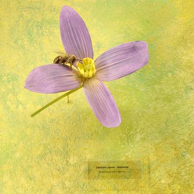 Clematis alpina (Modell: Alpen-Waldrebe mit Modell Biene)