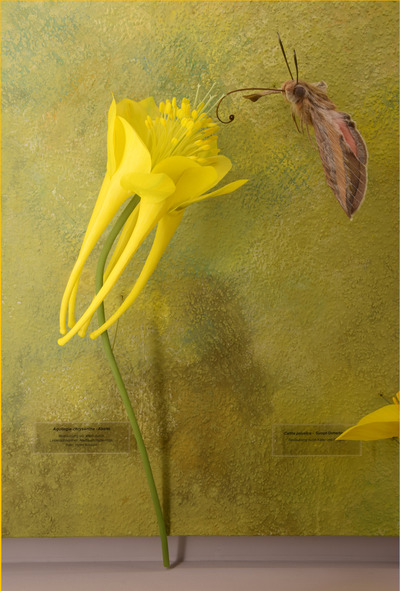Aquilegia chrysantha (Modell: Gold-Akelei)