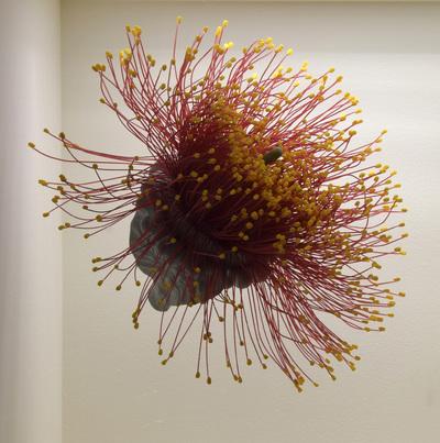 Eucalyptus spec. (Modell geöffnete Blüte der Schönhaube (10:1))