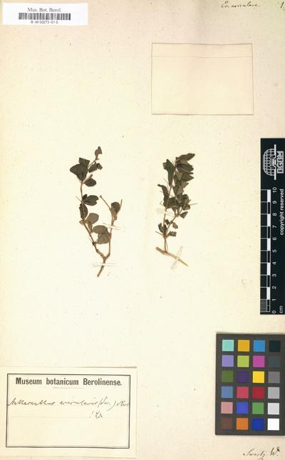 Omnia Eranthemum