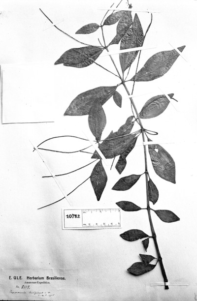 Peperomia decipiens C. DC.
