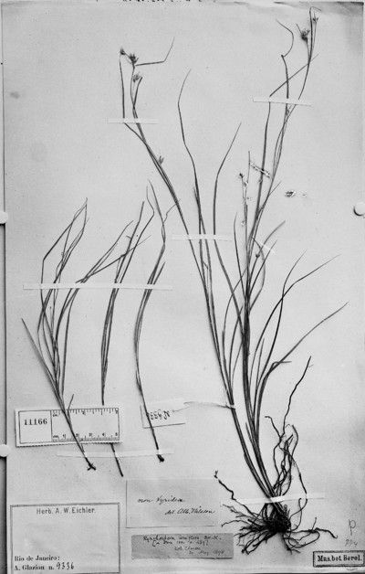 Rhynchospora uniflora Boeckeler
