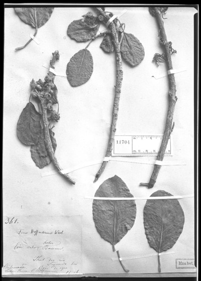 Ficus hoffmannii Warb.