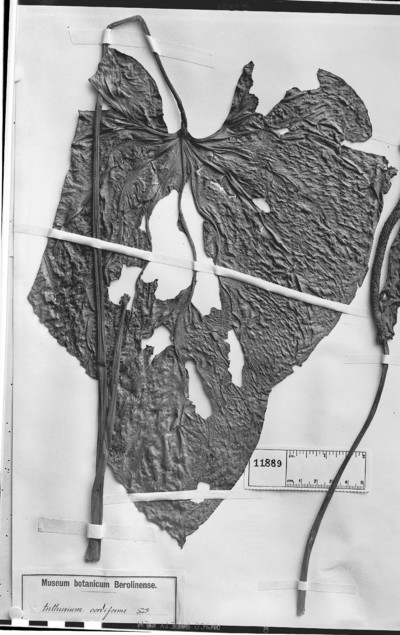 Anthurium cordiforme Sodiro