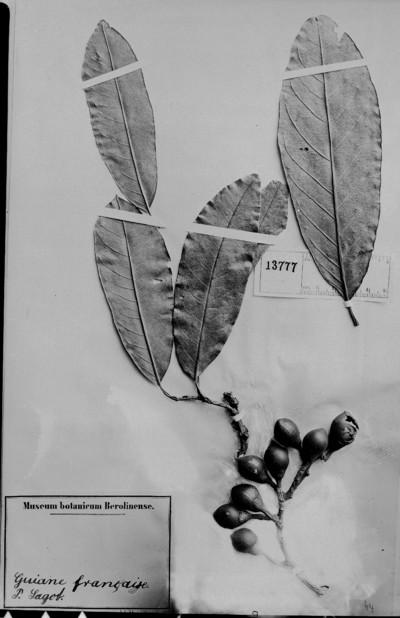 Maripa longifolia Sagot