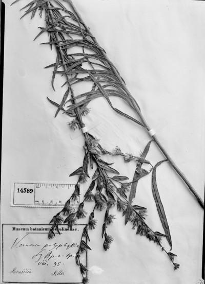 Vernonia polyphylla Sch. Bip.
