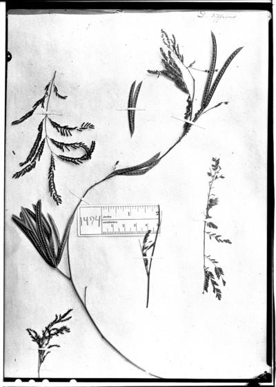 Desmanthus diffusus Willd.