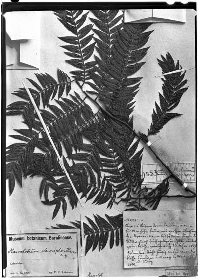 Macrolobium stenosiphon Harms