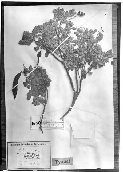 Cassia arnottiana Gillies & Hook.