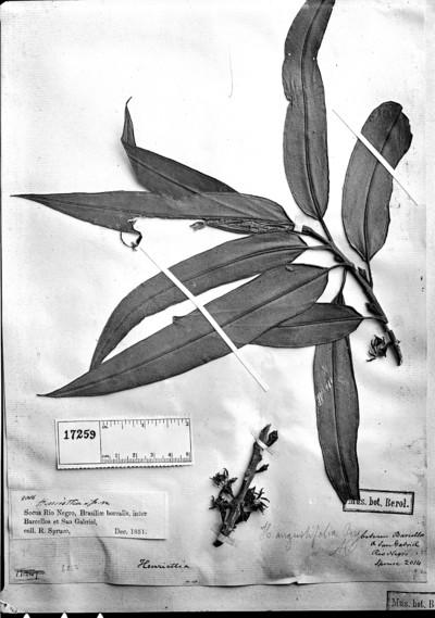 Henriettea angustifolia Burg