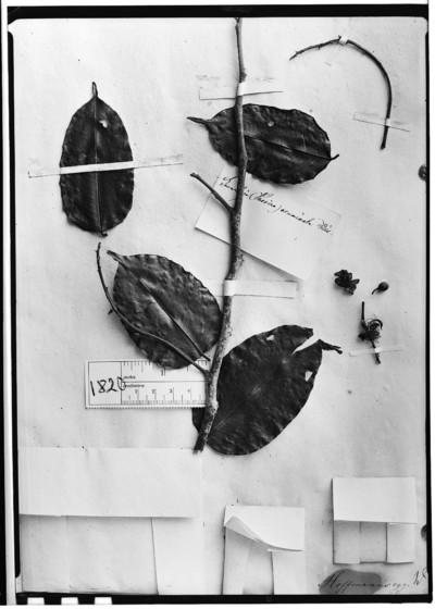 Swartzia acuminata Willd.