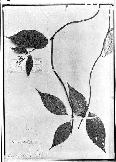 Manettia fimbriata Cham. & Schltdl.