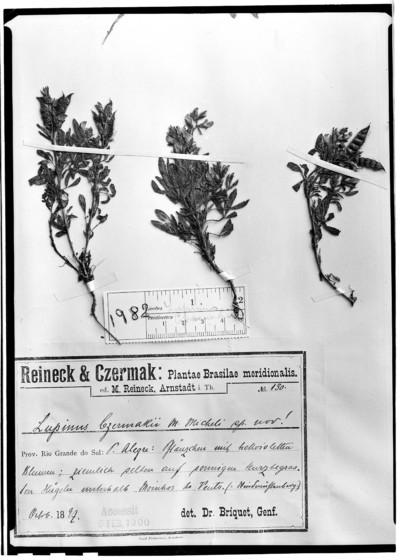 Lupinus czermakii subsp. czermakii (Micheli) Burkart