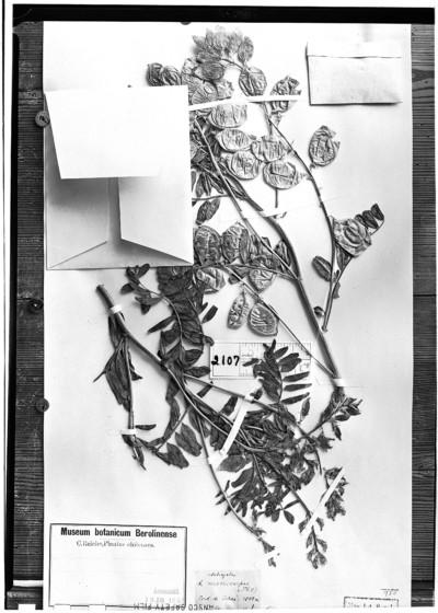 Astragalus macrocarpus Phil.
