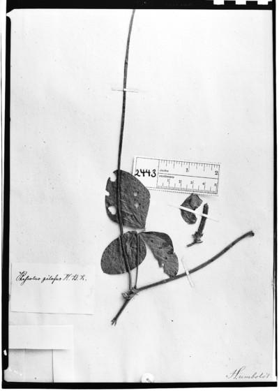 Phaseolus pilosus Humb. et al.
