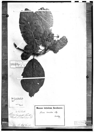 Persea laevigata Kunth