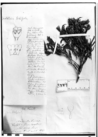 Buddleja ledifolia Kraenzl.