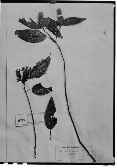 Schaueria lachnostachya Nees