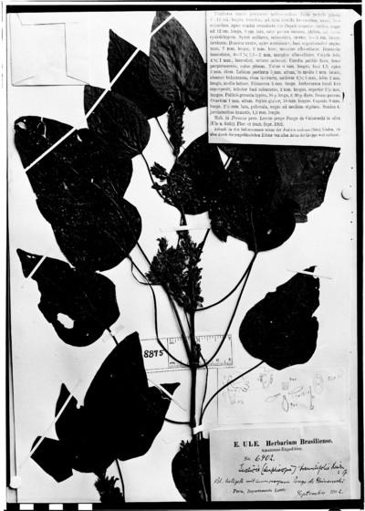 Justicia tremulifolia Lindau