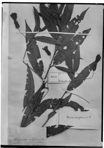 Abutilon longifolium K. Schum.