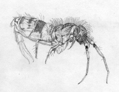 Orchesella cincta (Linnaeus, 1758)