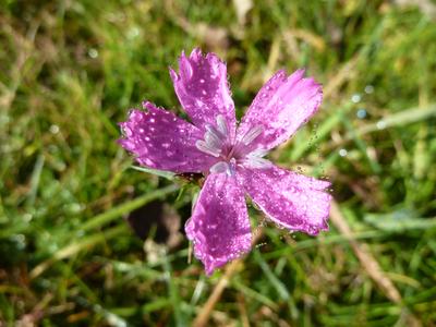 Dianthus carthusianorum subsp. carthusianorum L.