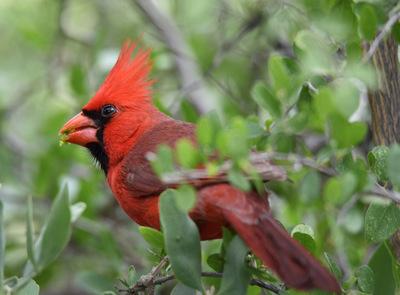 Cardinalis cardinalis (Linnaeus, 1758)