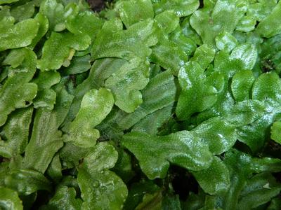 Conocephalum conicum (L.) Dumort.