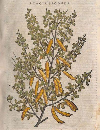Acacia seconda