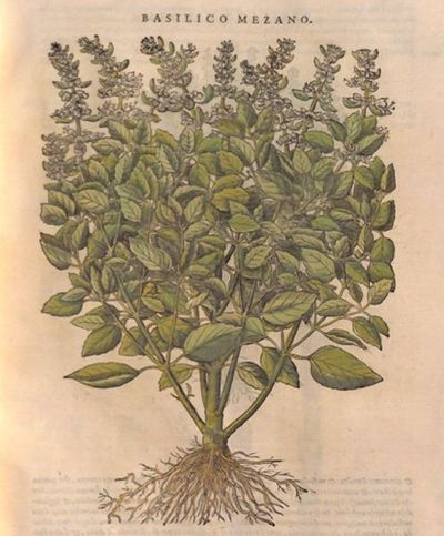 Basilico mezano