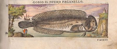 Gobio II, overo paganello