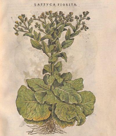 Lattuca fiorita
