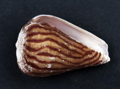 Conus angolensis Paes da Franca, 1957
