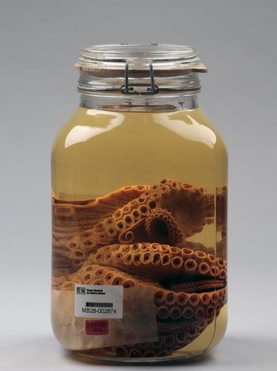Octopus vulgaris Cuvier, 1797