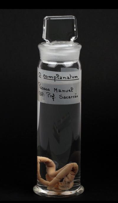 Octolasiumcomplanatum