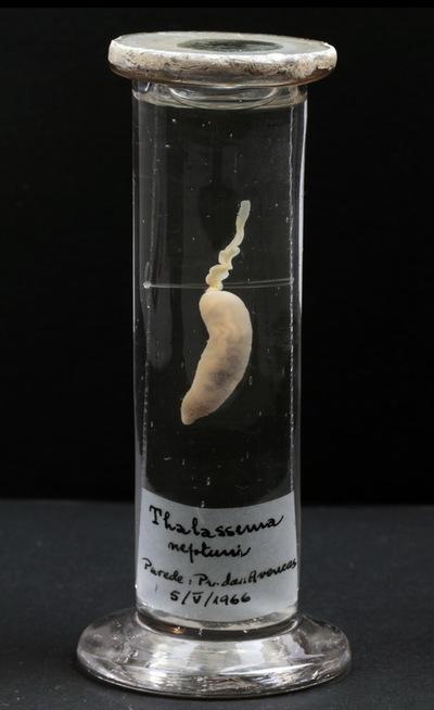 Thalassema neptuni Gaertner, 1774