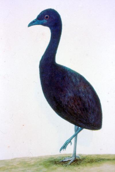 Psophia viridis obscura Pelzeln, 1857